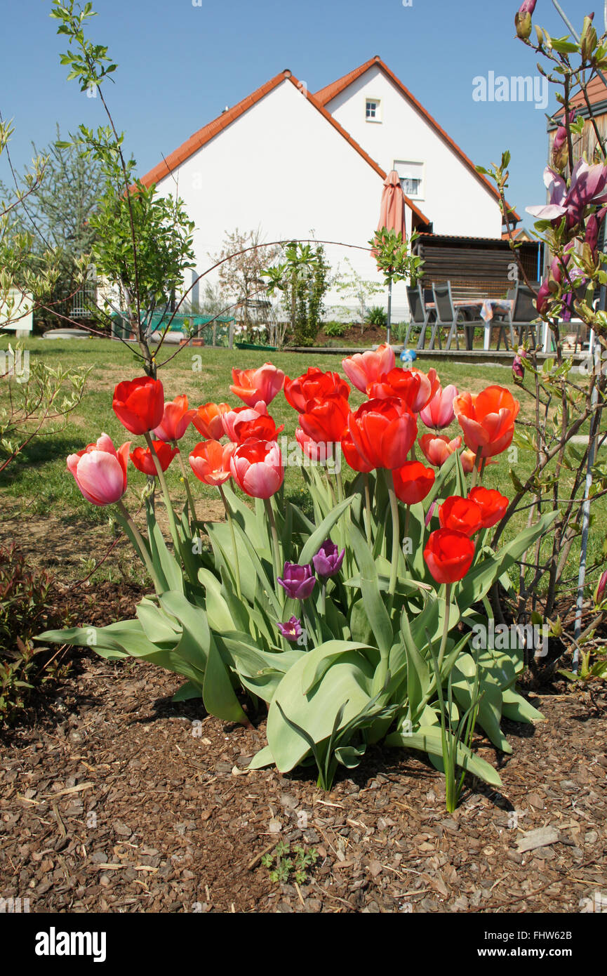 Tulipa, Tulip - Stock Image