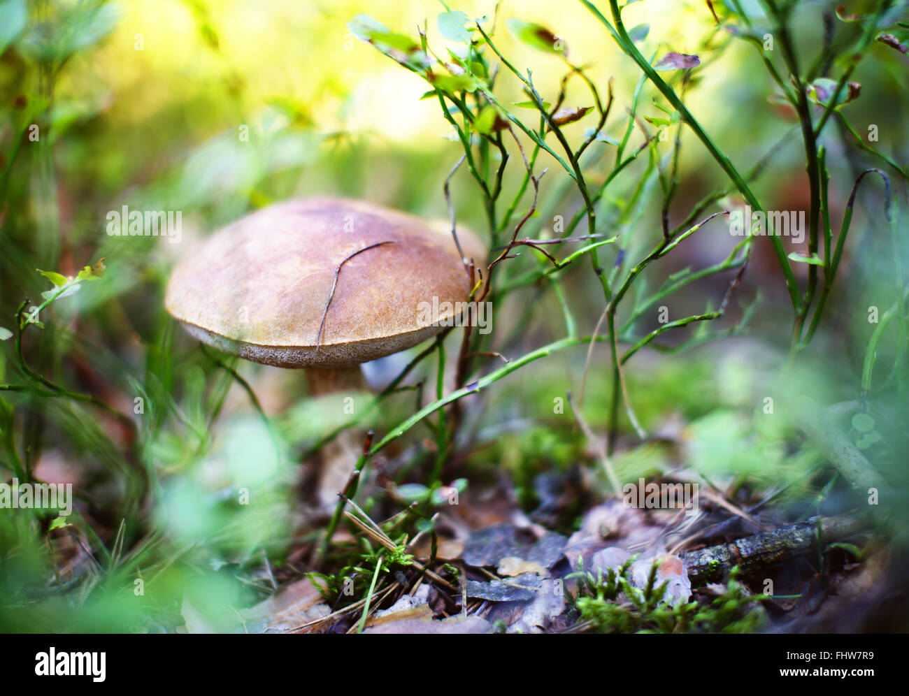 Boletus mushroom in forest. Gourmet vegetarian eating ingridient. Shallow depth of field - Stock Image