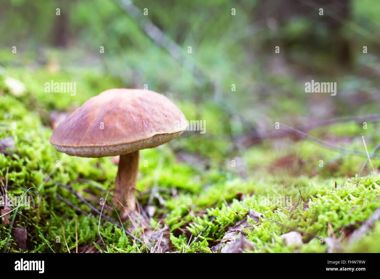 Brown cap boletus mushroom in moss. Tasty food ingridient. Creamy bokeh - Stock Image