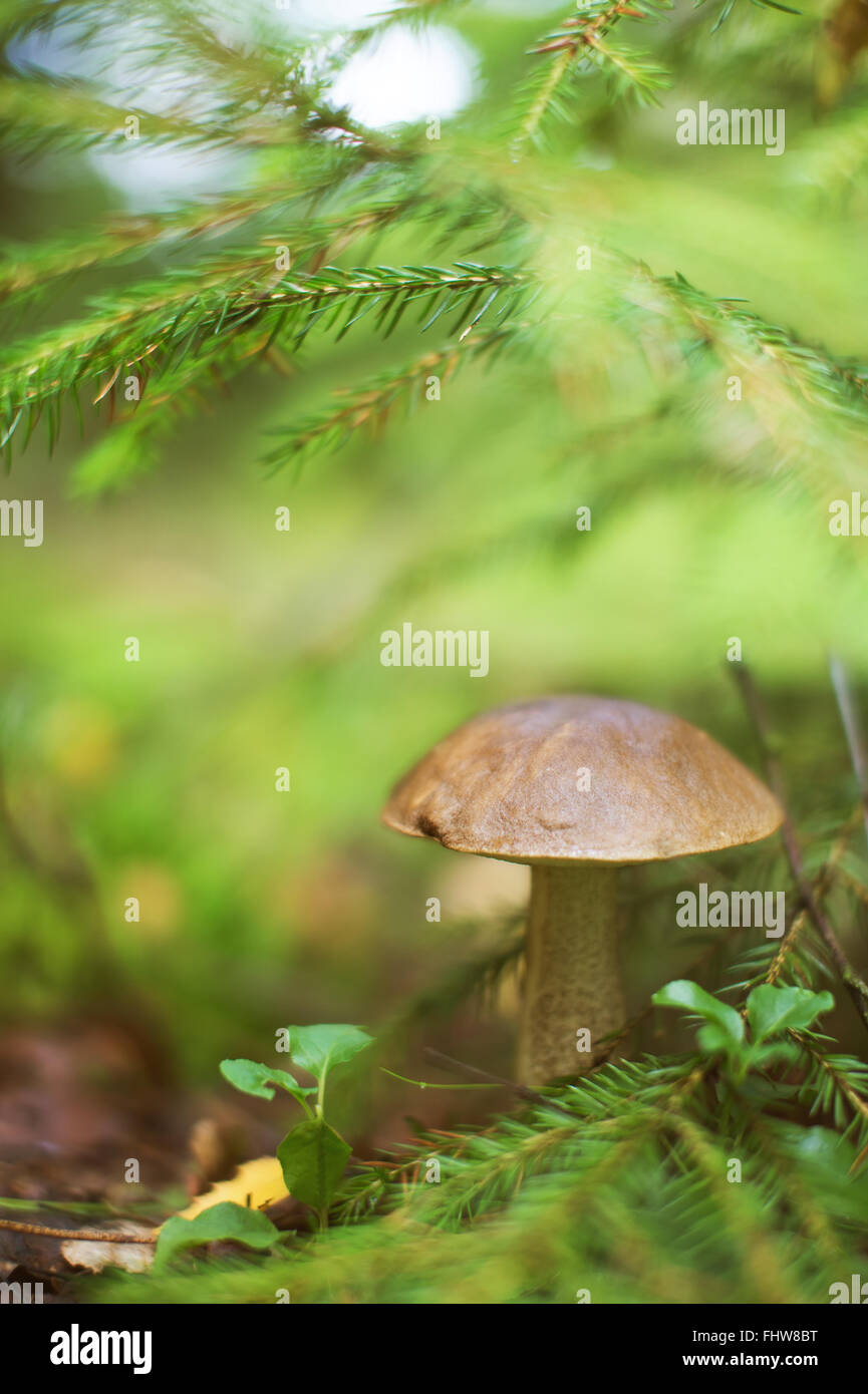 Brown cap boletus in the wood under fir branch. Shallow depth of field - Stock Image