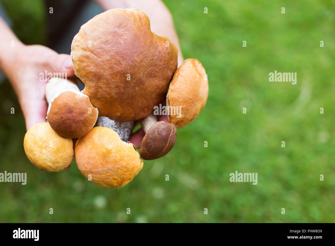 Porcini and boletus mushrooms in hands of woman. Shallow depth of field - Stock Image