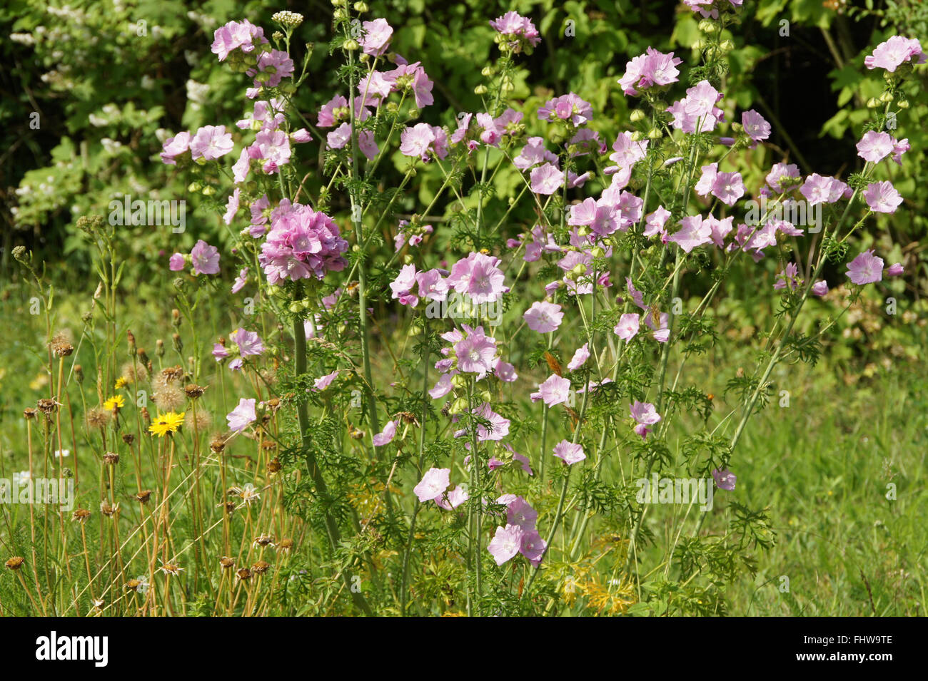 Malva moschata, Musk-mallow Stock Photo