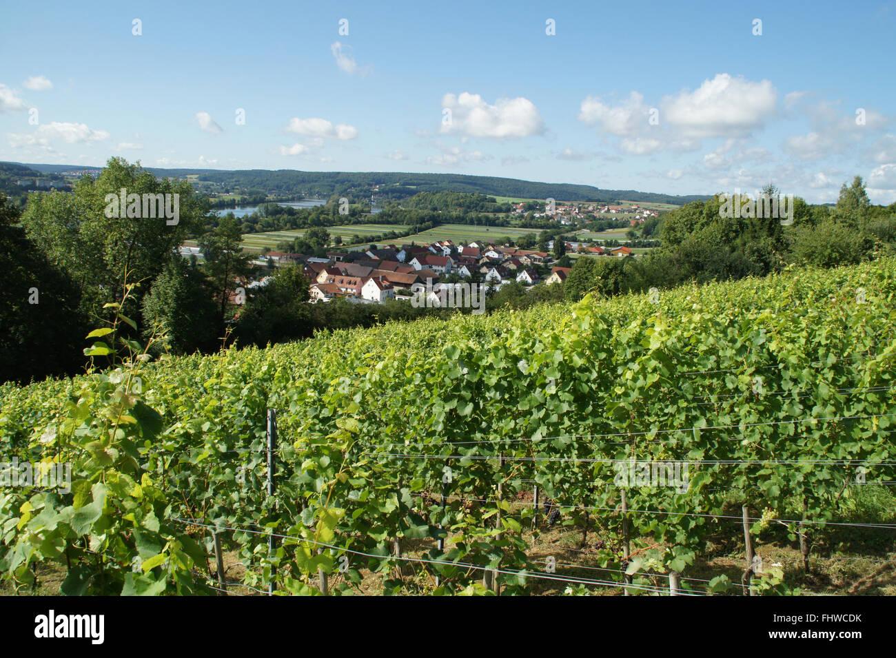 Vitis vinifera, Vineyard, in sommer Stock Photo