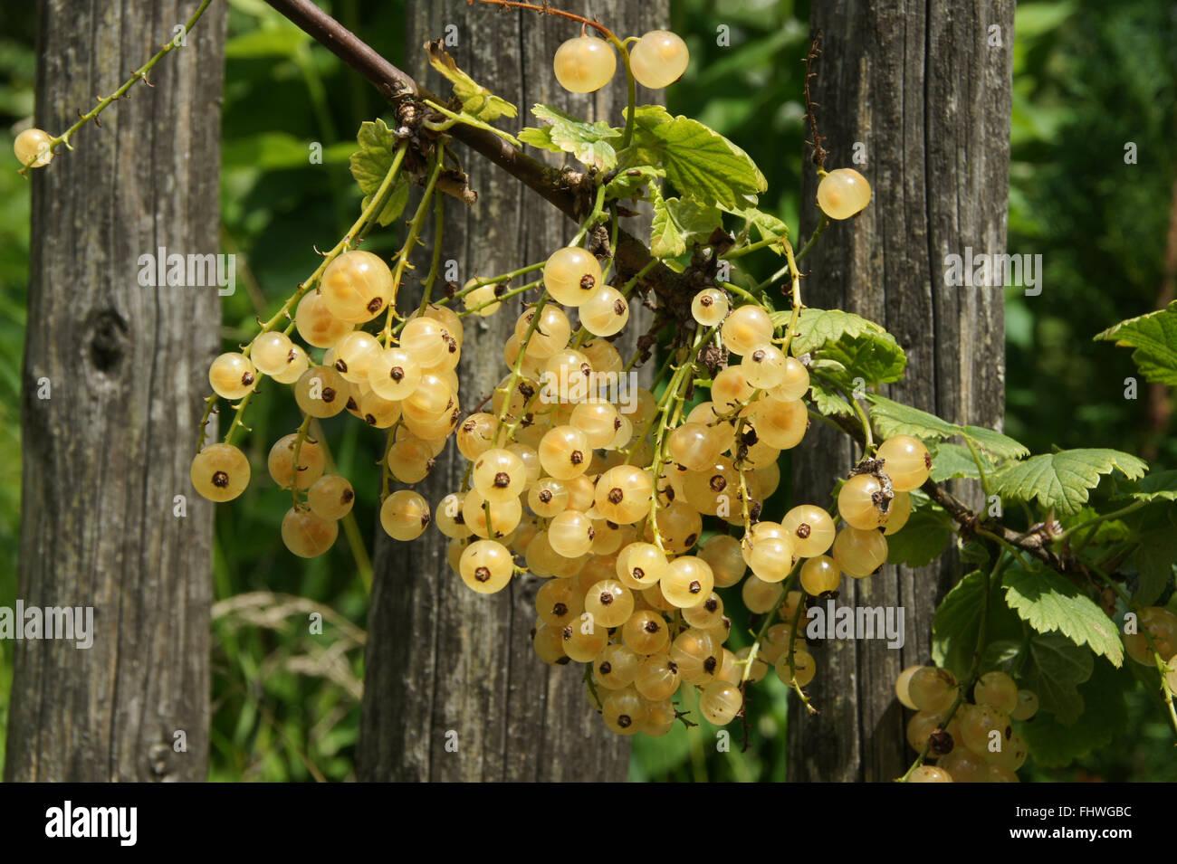 Ribes rubrum Blanka, White currant Stock Photo