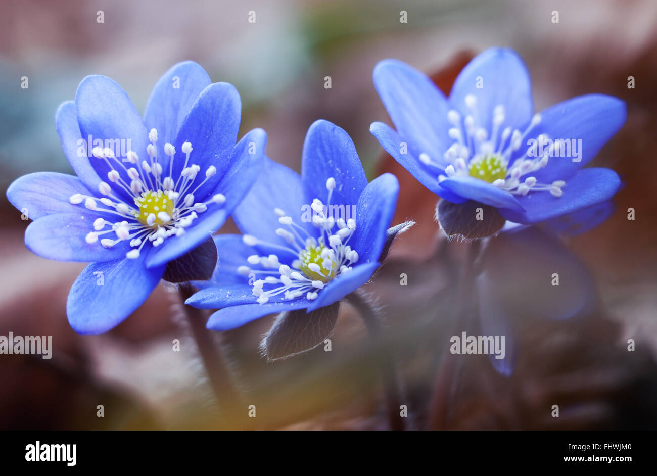 First Spring Flowers Blue Hepatica Or Snowdrop In Its Natural Stock