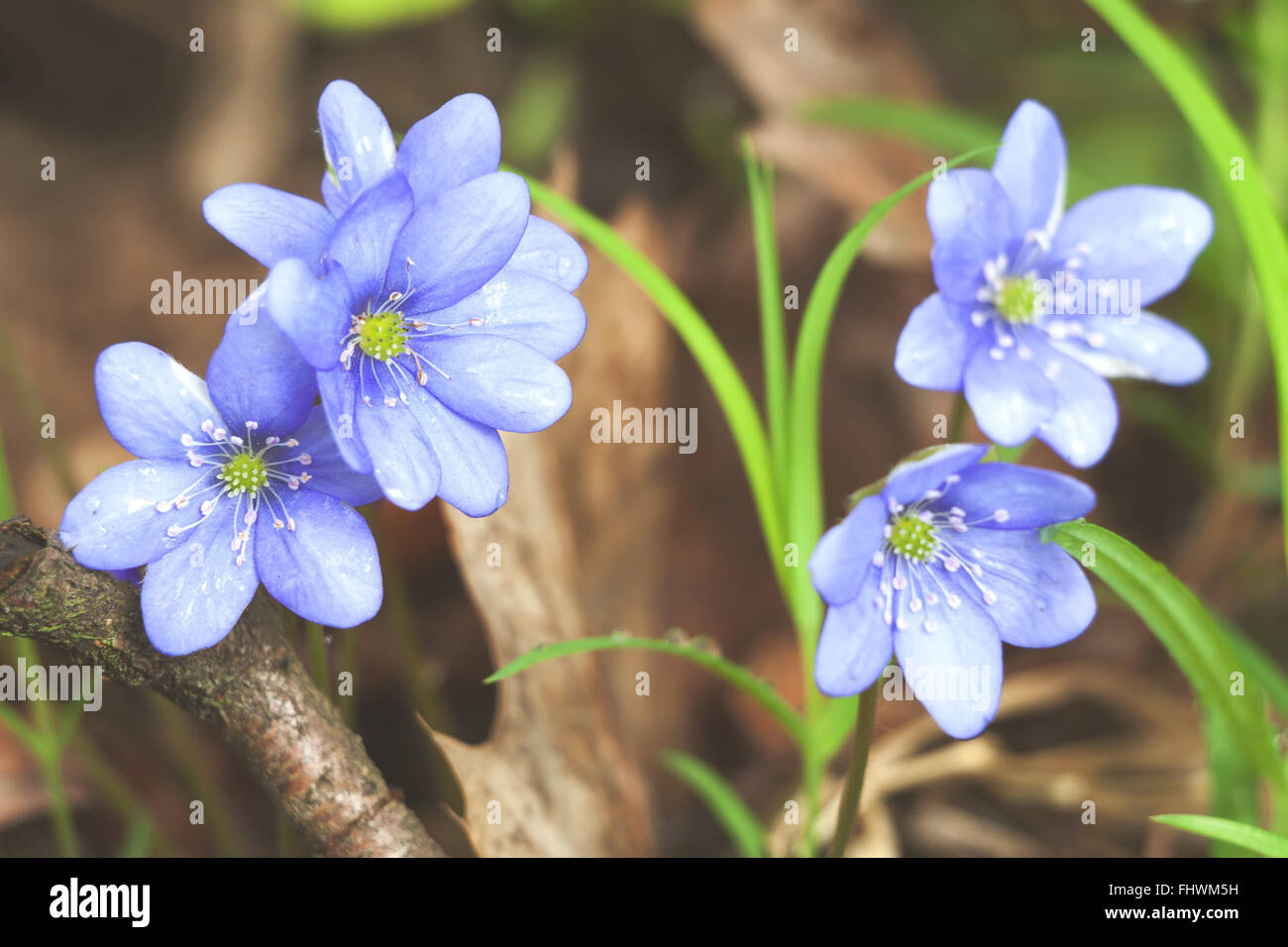 Early Spring Flowers Blue Hepatica Or Snowdrop In Its Natural Stock