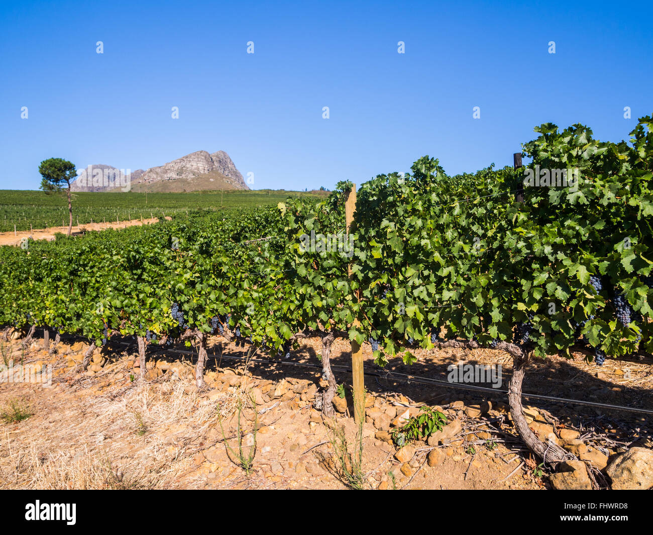 Vineyards close to Stellenbosch, Wester Cape in South Africa. - Stock Image