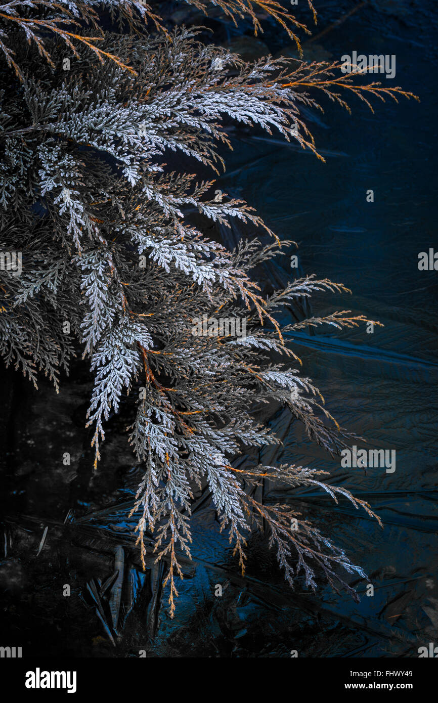 Frozen conifer and icy water. - Stock Image