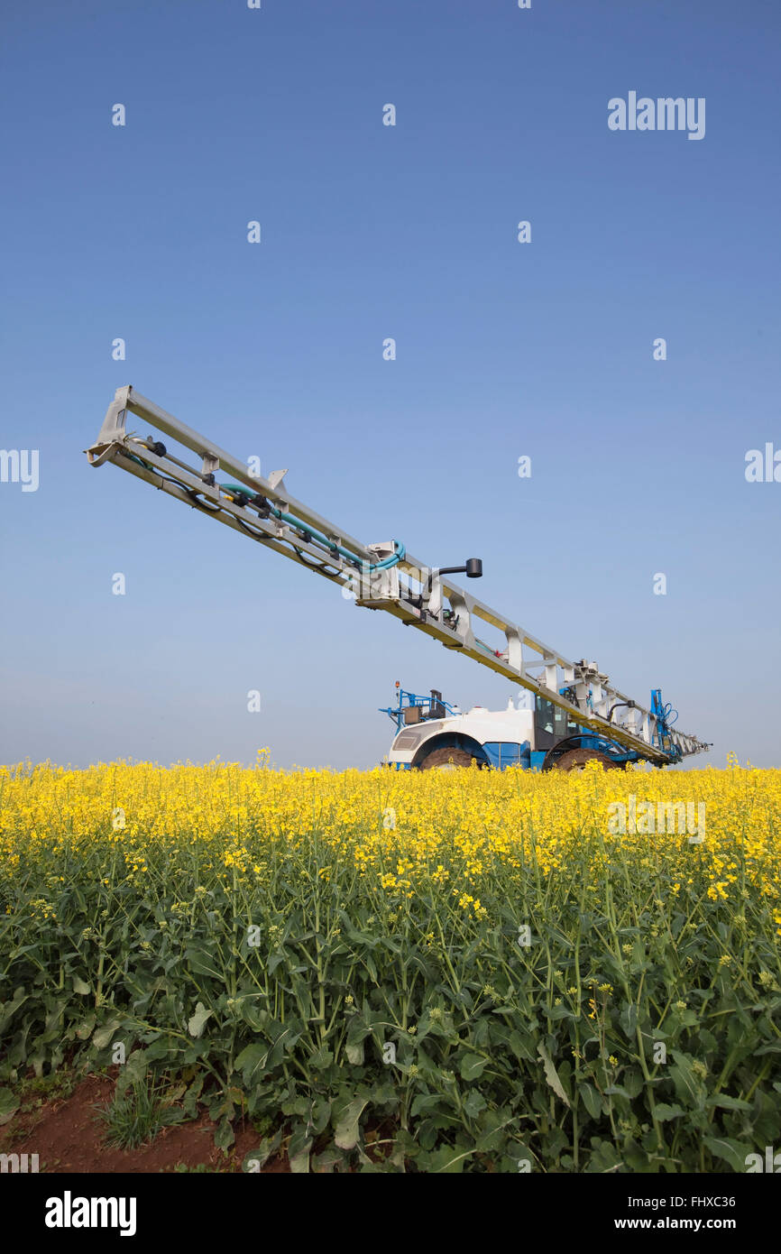 Fungicidal treatment in a field of colza - Stock Image