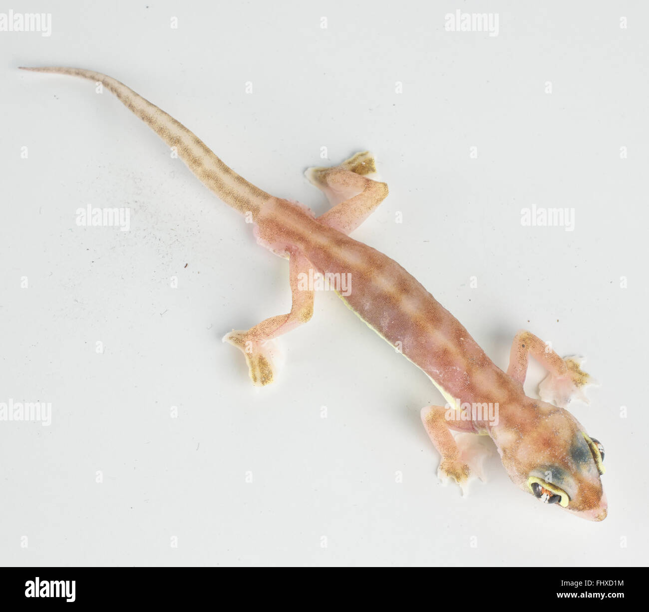 Web-footed gecko (Palmatogecko rangei) Stock Photo