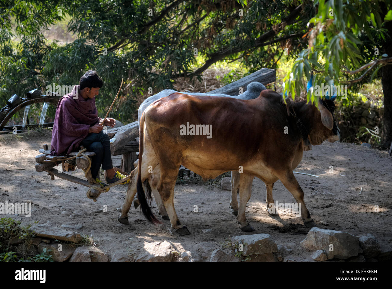 irrigation system with water pump, run with man and two bulls, in Rajasthan, India - Stock Image
