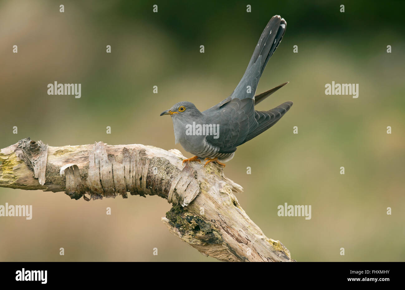 Cuckoo male perched on branch - Stock Image
