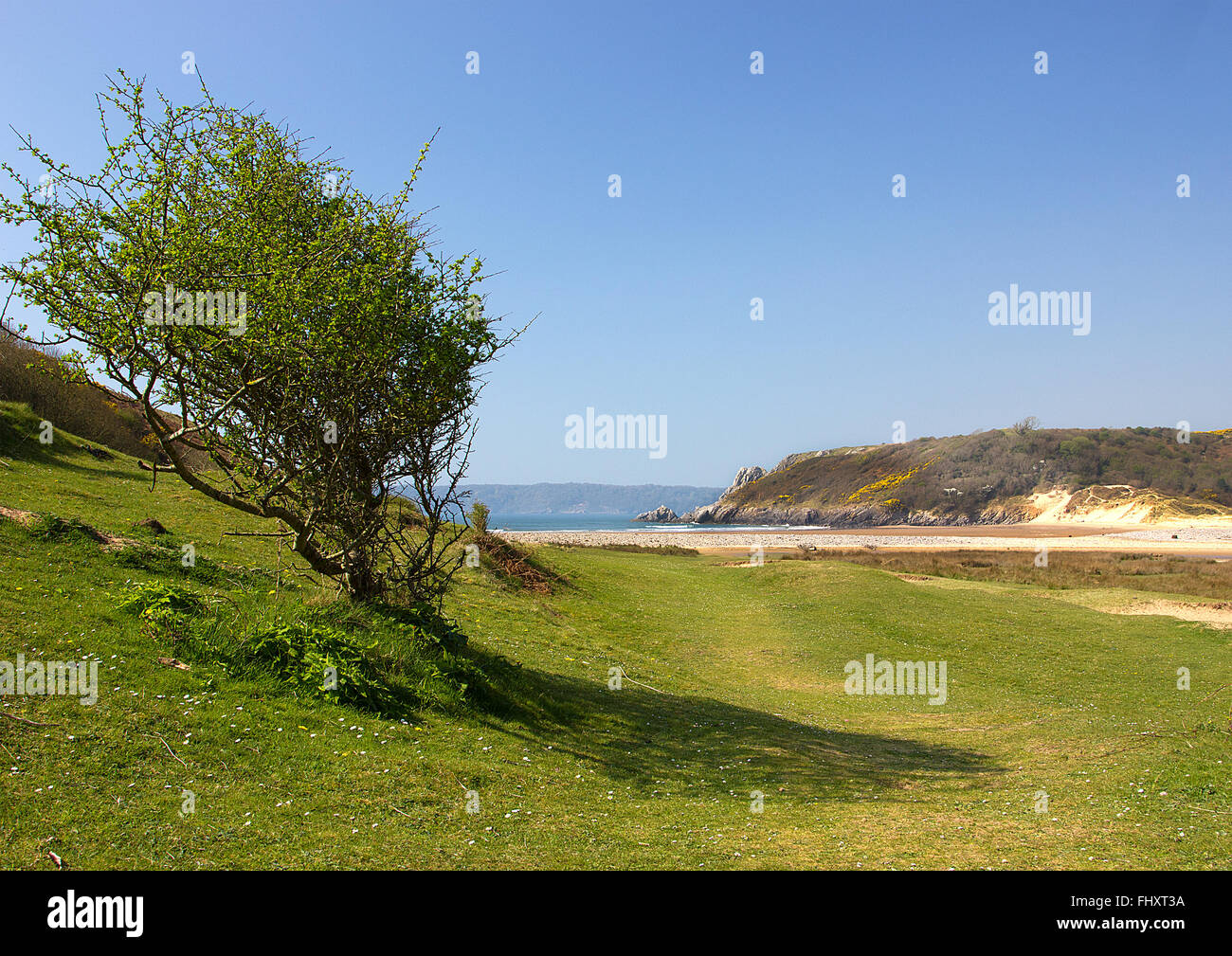 Three Cliffs Bay, a Windswept Tree, Gower, South Wales, UK - Stock Image