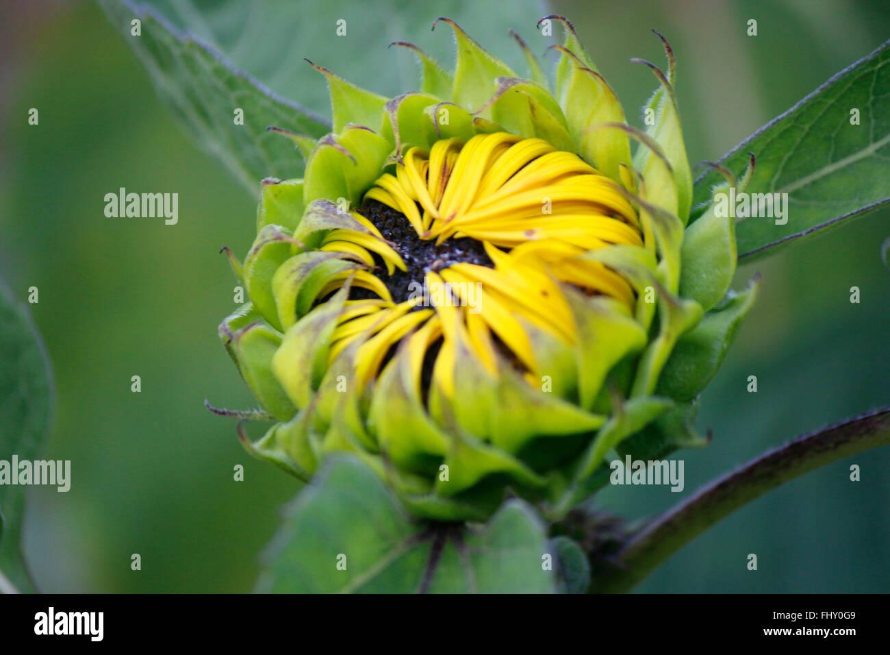 Sonnenblume - spaetsommerlicher Garten, Berlin. - Stock Image