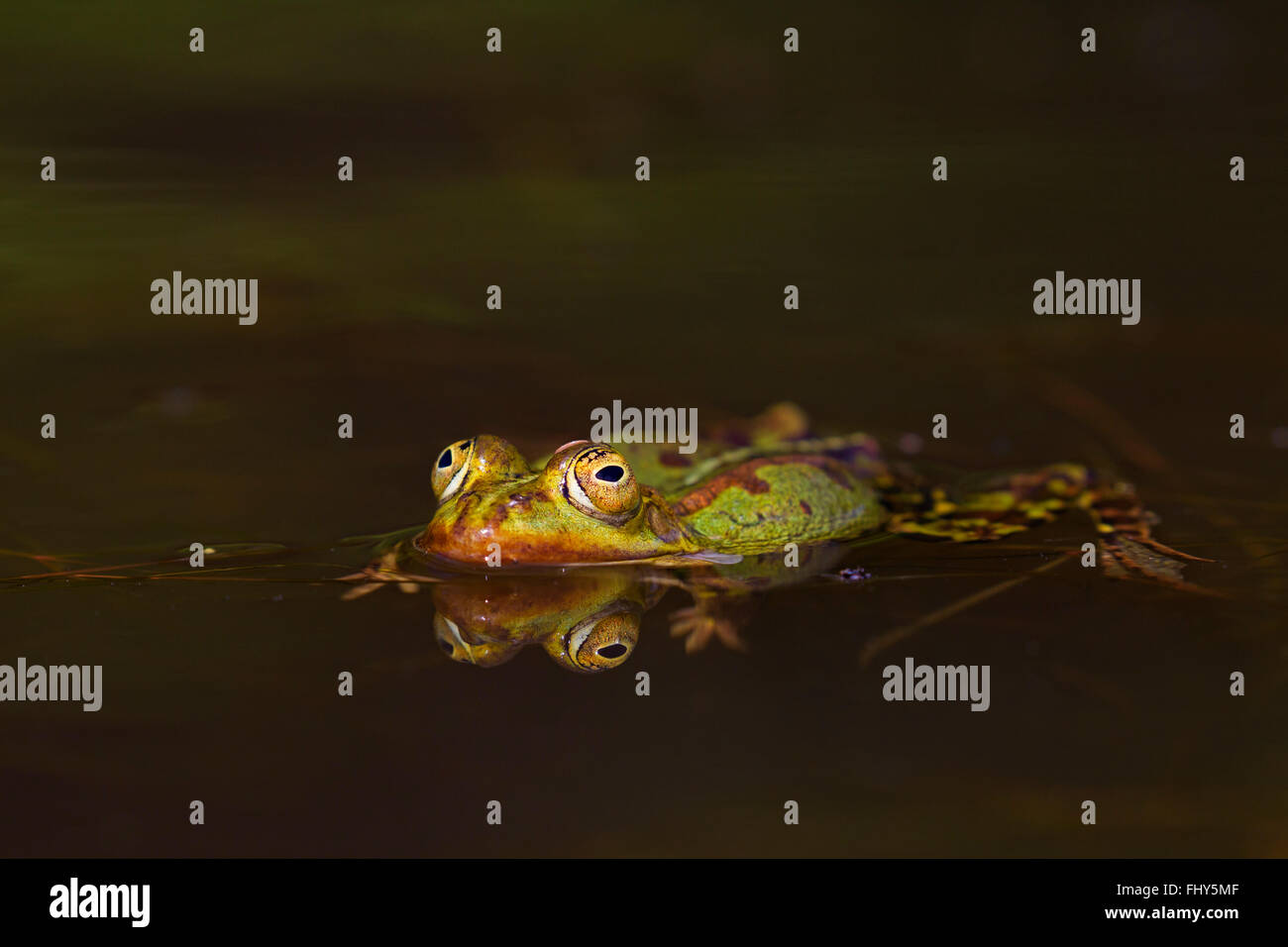 Edible frog / common water frog / green frog (Pelophylax kl. esculentus / Rana kl. esculenta) floating in pond - Stock Image