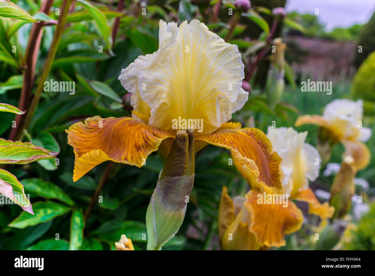 Golden yellow flower of tall bearded iris close-up. - Stock Image
