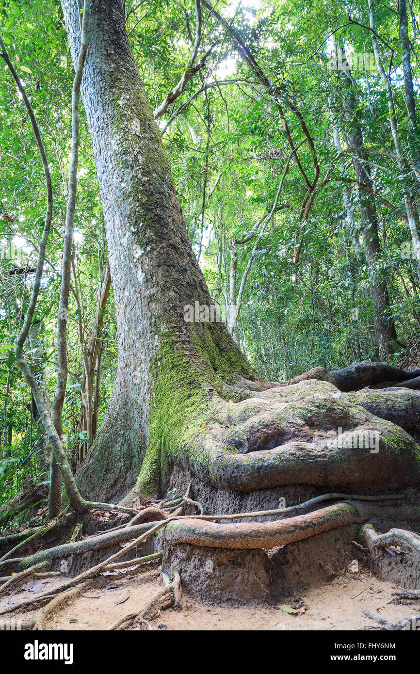 Stem of big tree in rain forest which has a big root appear on the ground. The root has moss adhere on the bark. - Stock Image