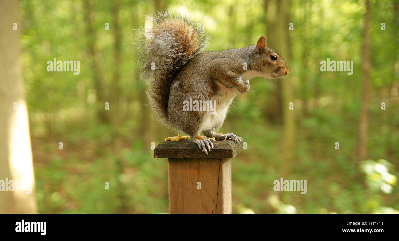Grey Squirrel, female, sitting upright on fence post. - Stock Image