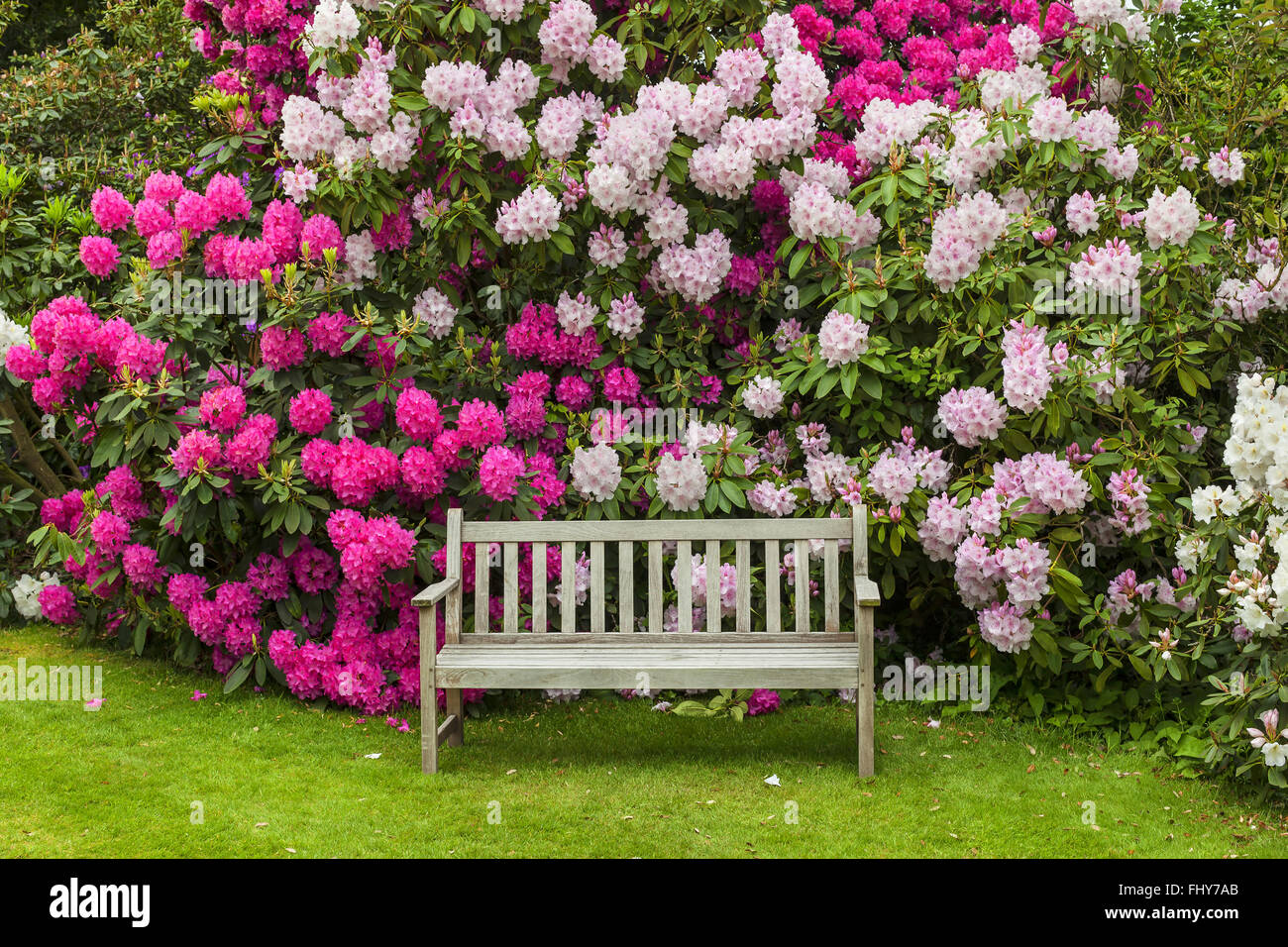 Rhododendron garden with wooden bench. Stock Photo