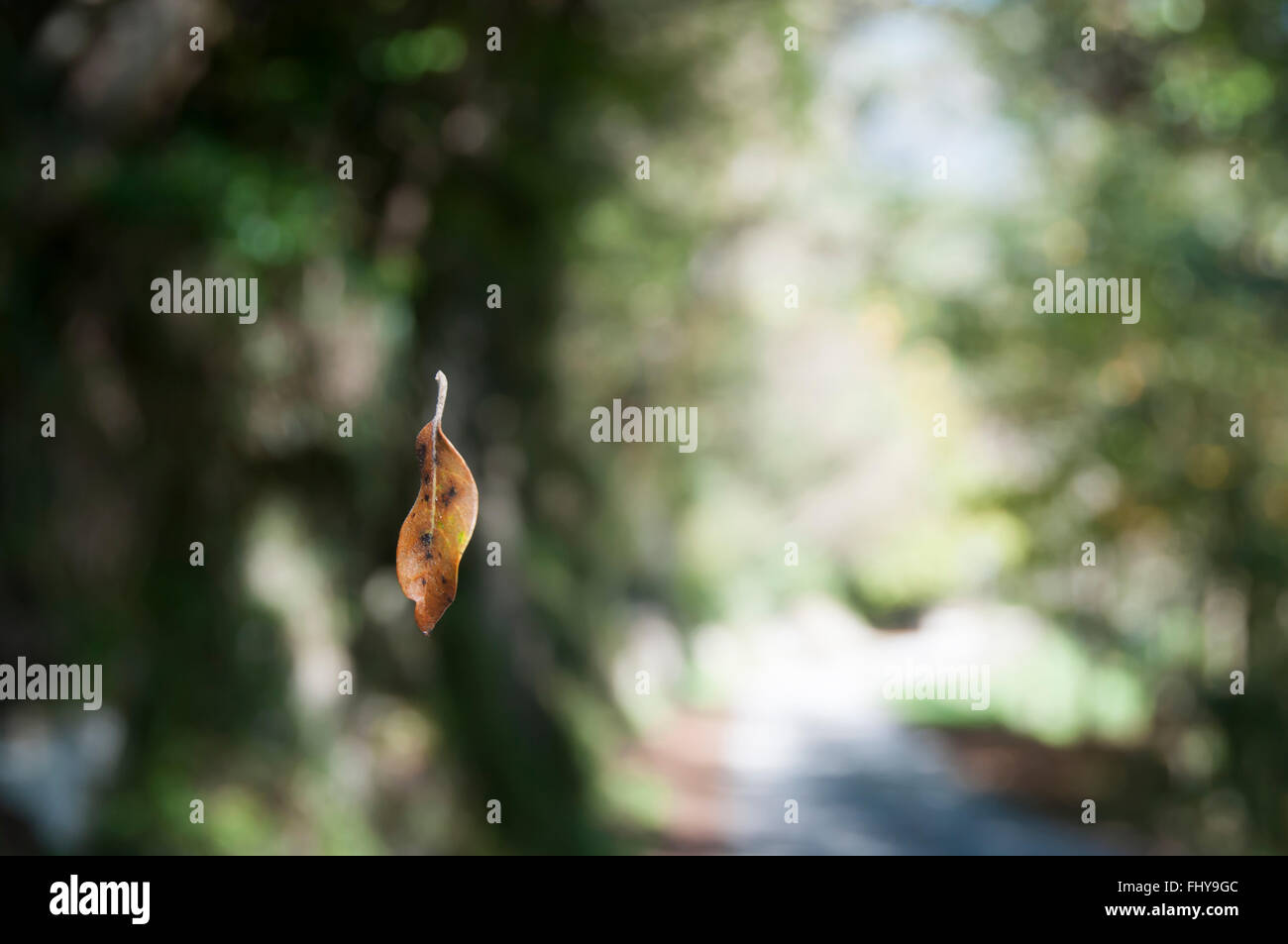 leaf falling in the forest with blurred background - Stock Image