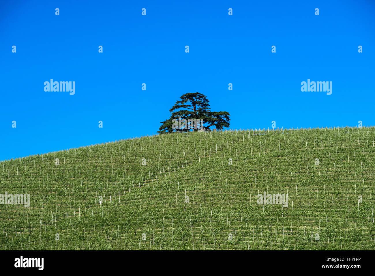 Baum, Tree, Weinberg, vineyard, Piemont, piedmont, Cedrus libani, Zeder Stock Photo