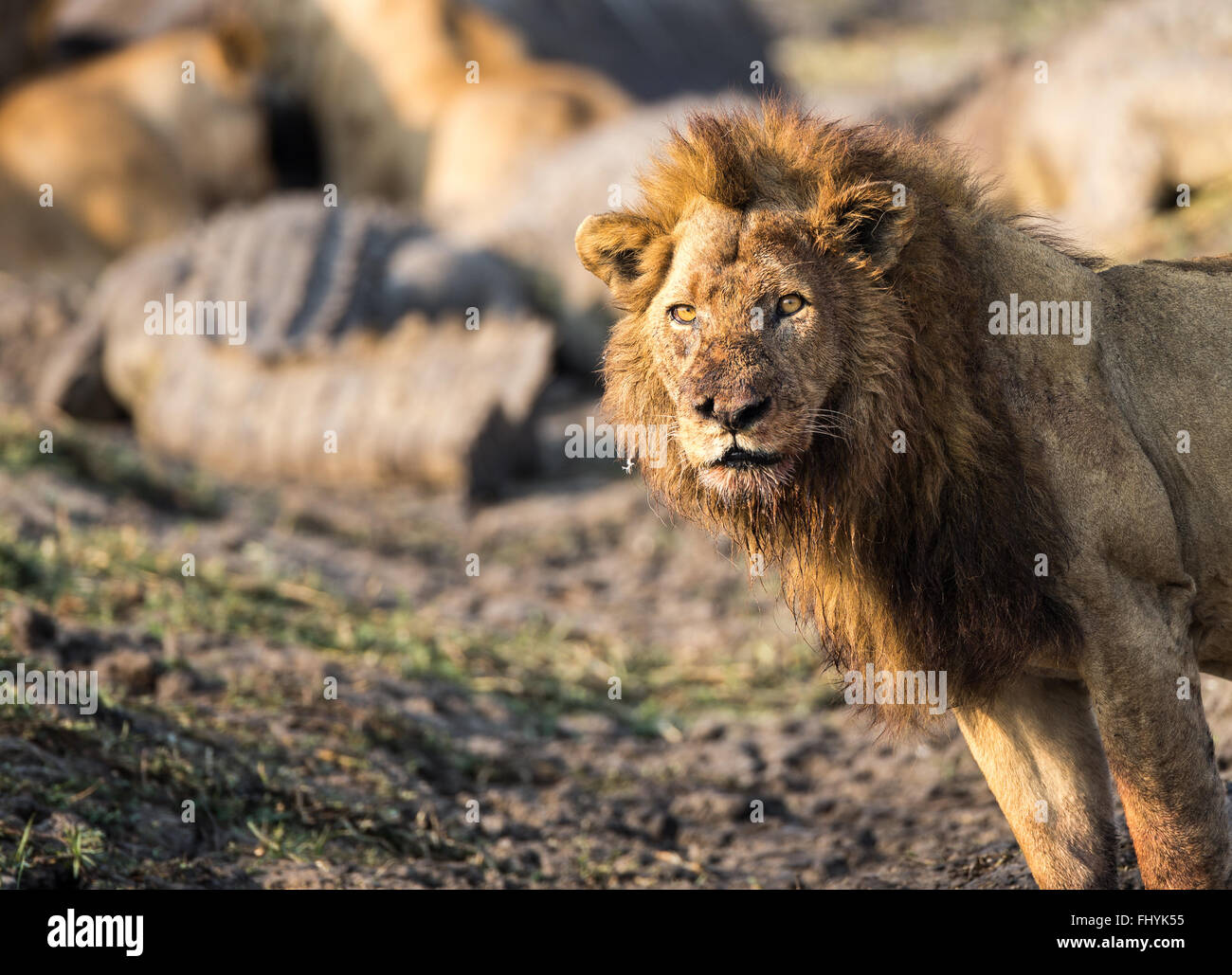 male lion standing in front of hippo kill with crocodile in background - Stock Image