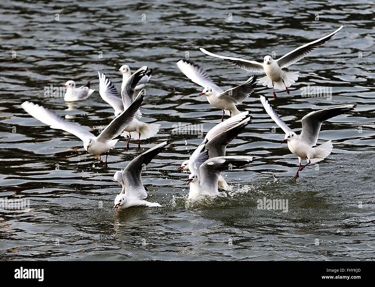 Qinhuangdao, China's Hebei Province. 26th Feb, 2016. Seagulls scramble for food at the estuary of Xinkai River - Stock Image