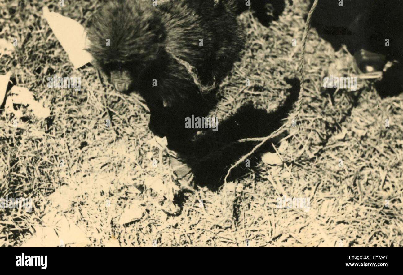 Monkey captured, Ethiopia - Stock Image