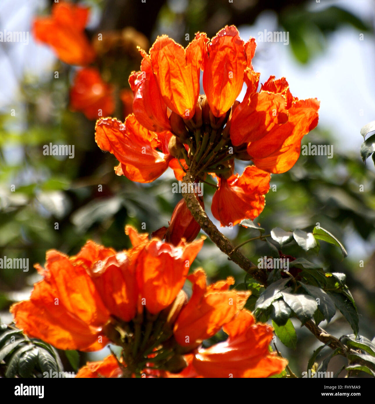 Spathodea campanulata, African Tulip tree, Fountain tree, ornamental tree with reddish-orange cup-shaped flowers - Stock Image