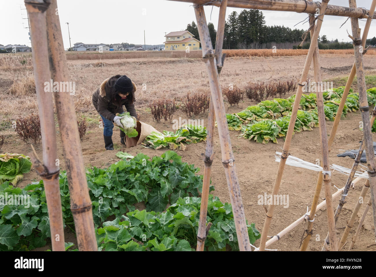 A volunteer from the aid agency Caritas, packs Chinese cabbage on land that has been affected by the 2011 earthquake, - Stock Image