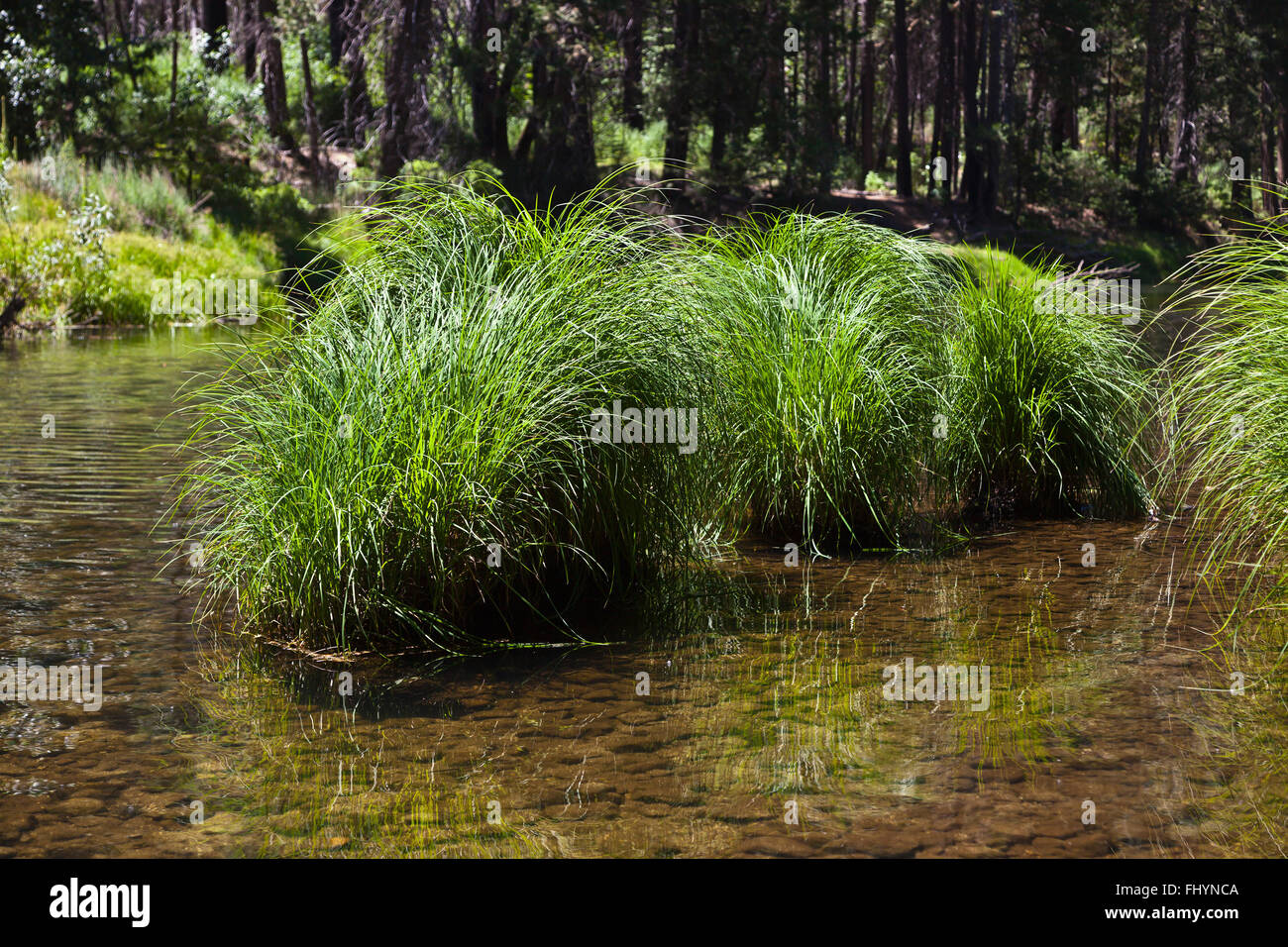 NATIVE GRASSES flourish in the MERCED RIVER meandering through YOSEMITE VALLEY in spring - CALIFORNIA - Stock Image
