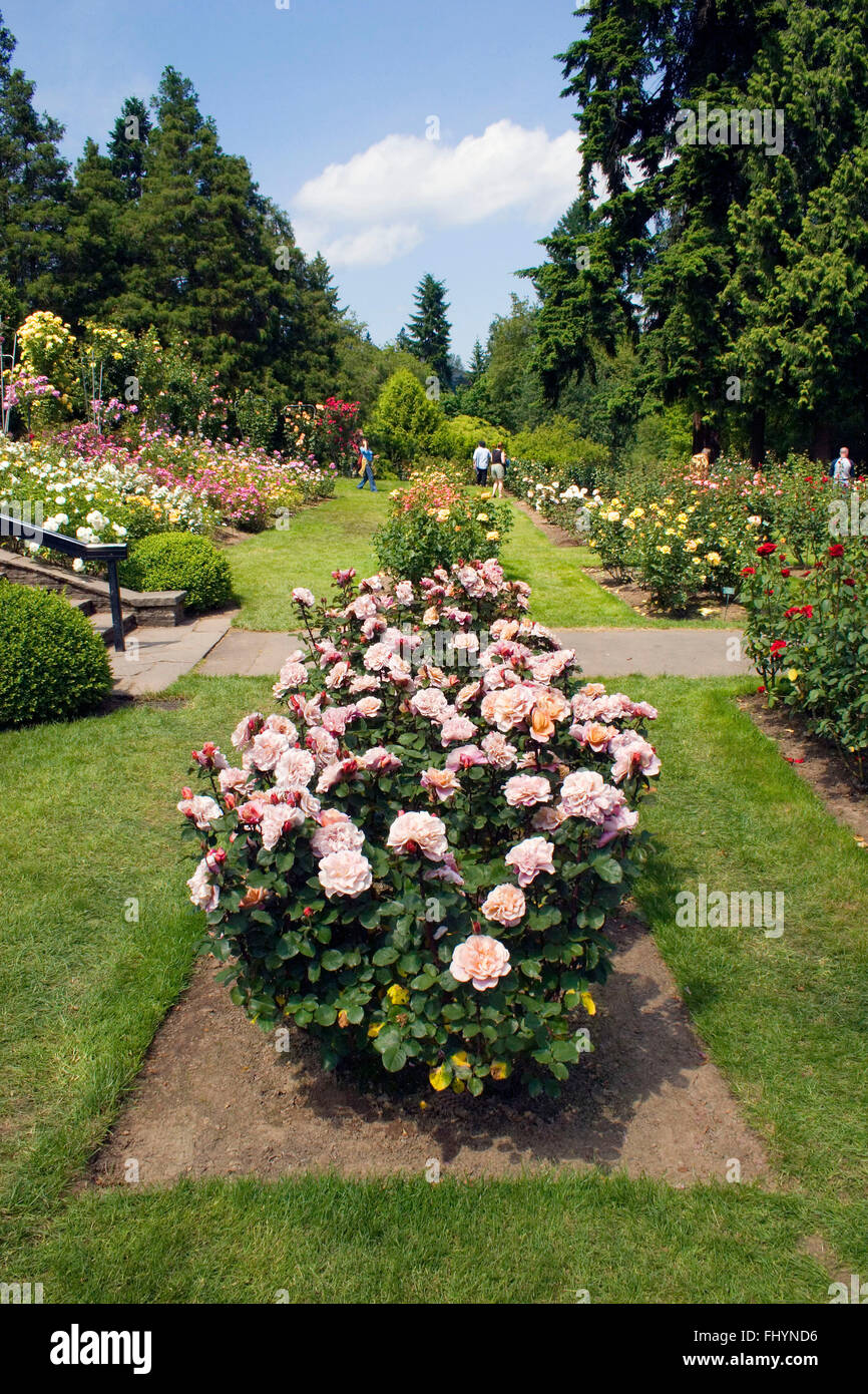 The Portland Rose Garden Also Known As The International Rose Test