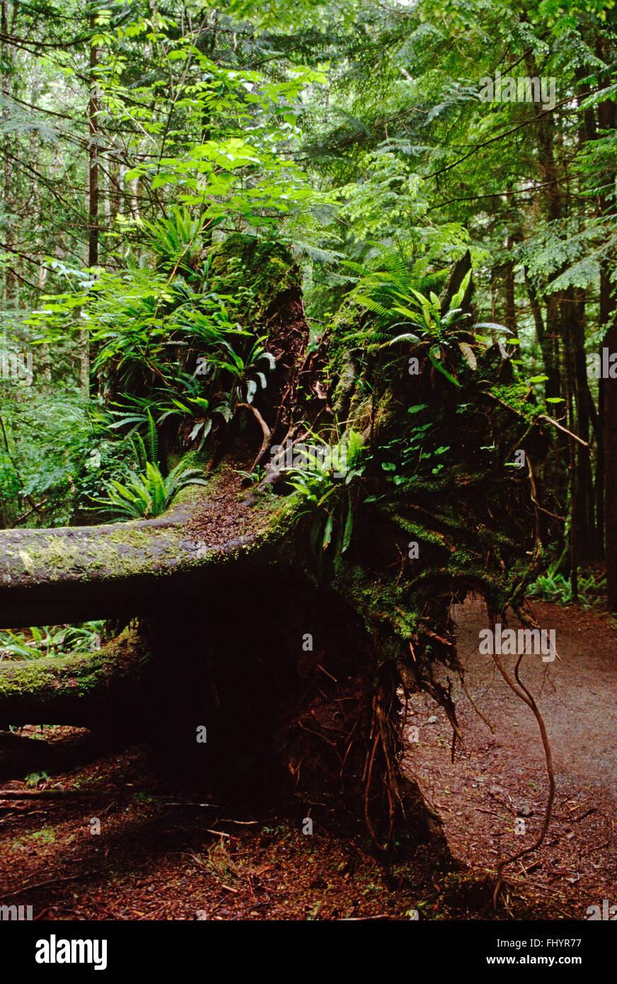 Fallen trees provide nourishment for plant communities on TEMPORATE RAIN FOREST FLOOR - OLYMPIC NATIONAL PARK, WASHINGTON - Stock Image