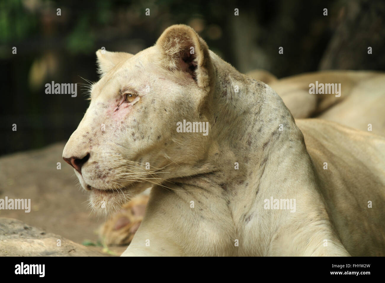 Portrait of old lioness - Stock Image