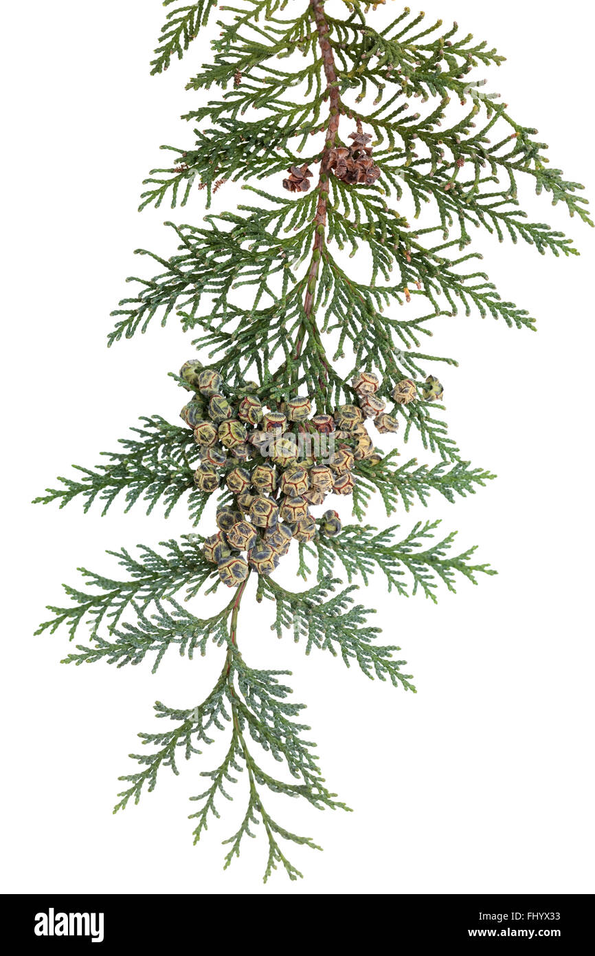 branch of coniferous tree (Chamaecyparis lawsoniana) on white - Stock Image