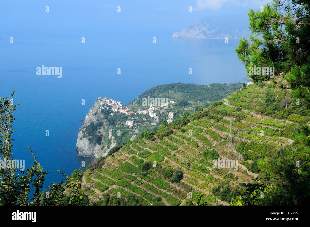 Grape harvesting in Sciacchetrà vineyard, Corniglia, Cinque Terre, Ligury, Italy, Europe - Stock Image