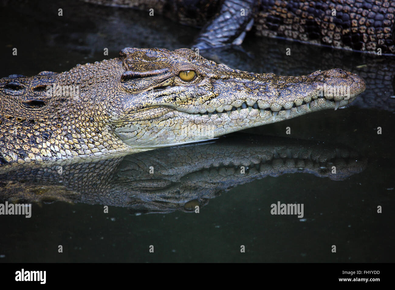 MIRI/MALAYSIA - 24 NOVEMBER 2015: Detail of a crocodile's head coming out of the fresh water in Borneo - Stock Image