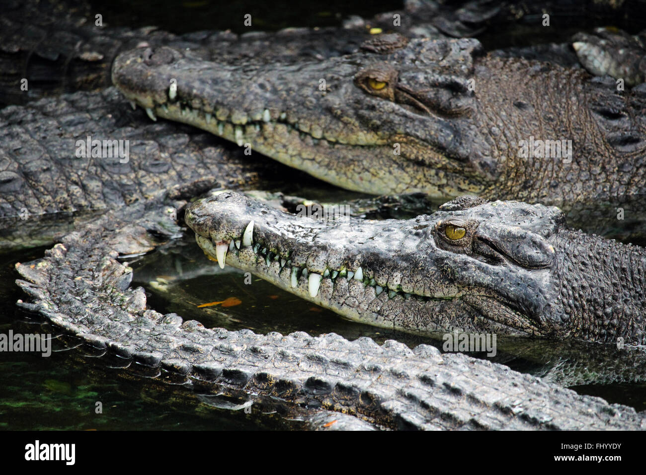 MIRI/MALAYSIA - 24 NOVEMBER 2015: Agglomeration of crocodiles in the water in Borneo next to the border between - Stock Image