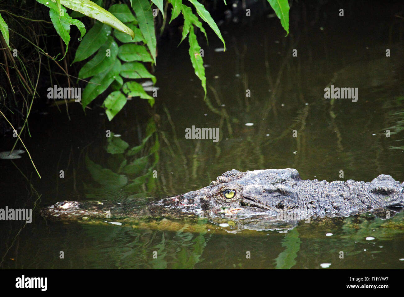 MIRI/MALAYSIA - 24 NOVEMBER 2015: A crocodile in the fresh water north of Miri in Borneo next to the the border Stock Photo