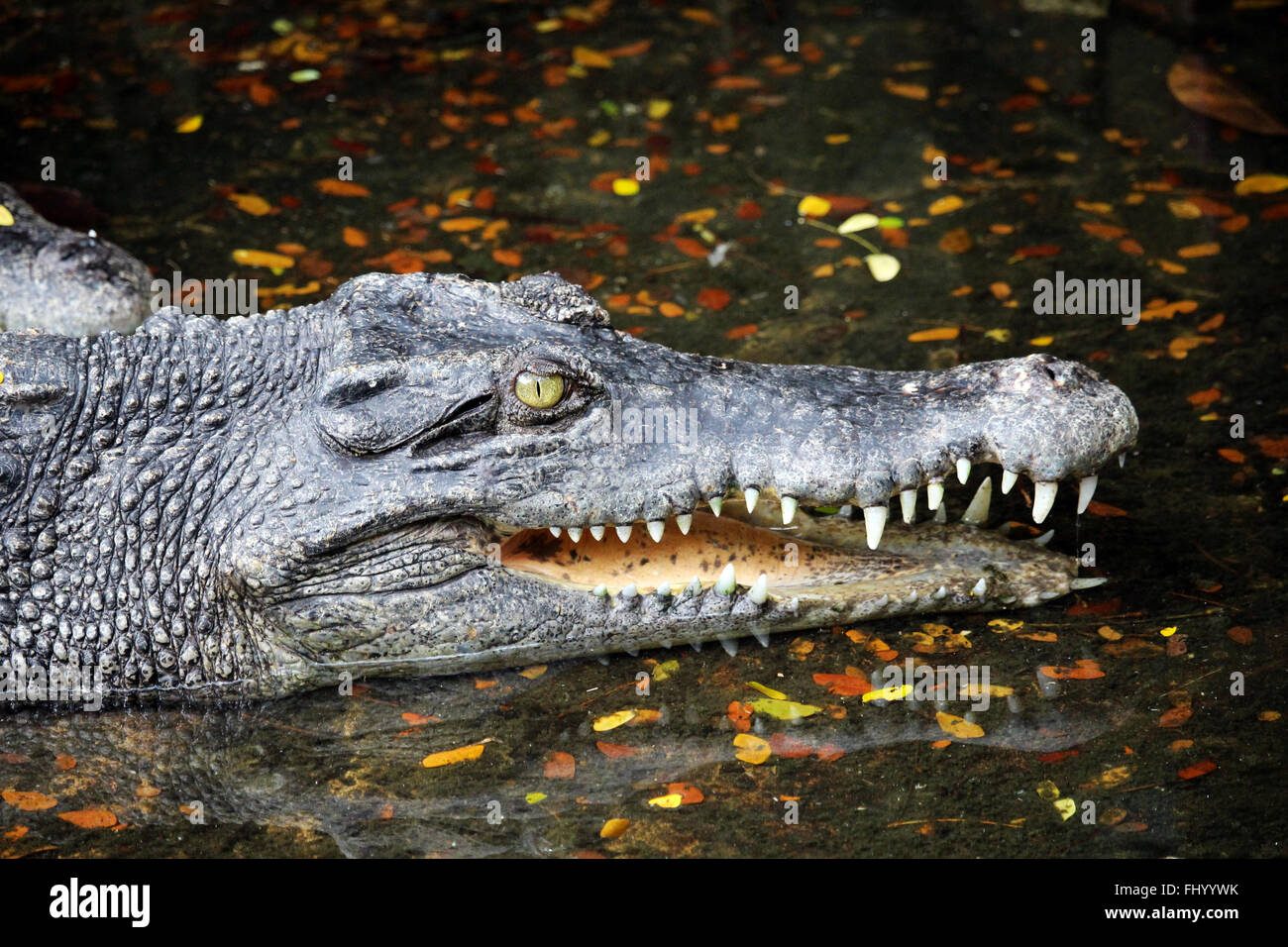 MIRI/MALAYSIA - 24 NOVEMBER 2015: A crocodile with big teeth in Borneo next to the border between Malaysia and Brunei - Stock Image