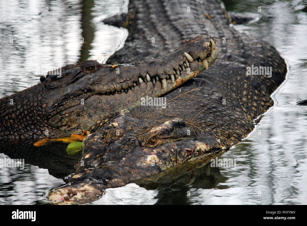MIRI/MALAYSIA - 24 NOVEMBER 2015: Two crocodiles in the fresh water the region of Sarawak in Borneo Stock Photo