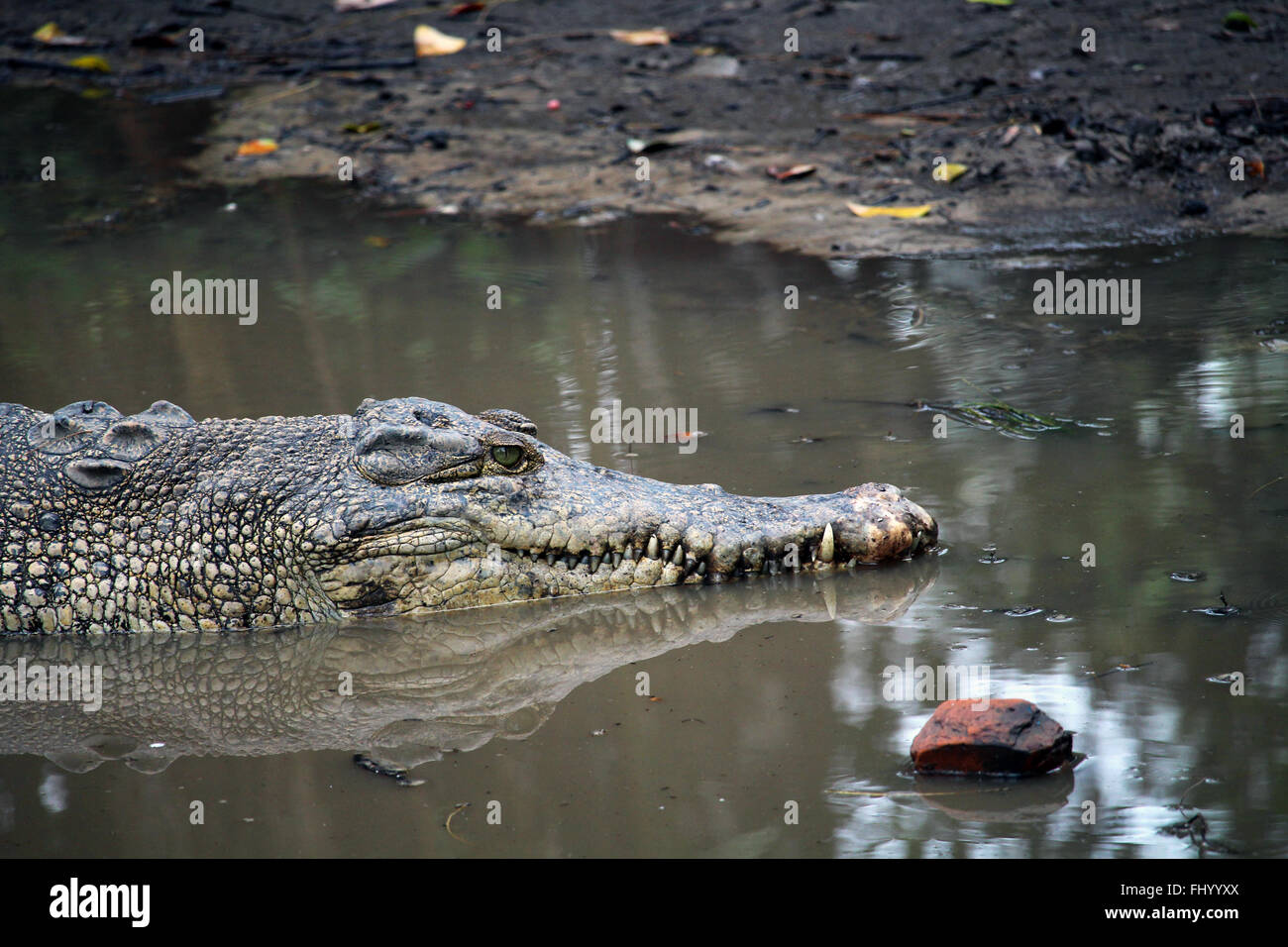 MIRI/MALAYSIA - 24 NOVEMBER 2015: Detail of a crocodile's head coming out of the fresh water in Borneo Stock Photo