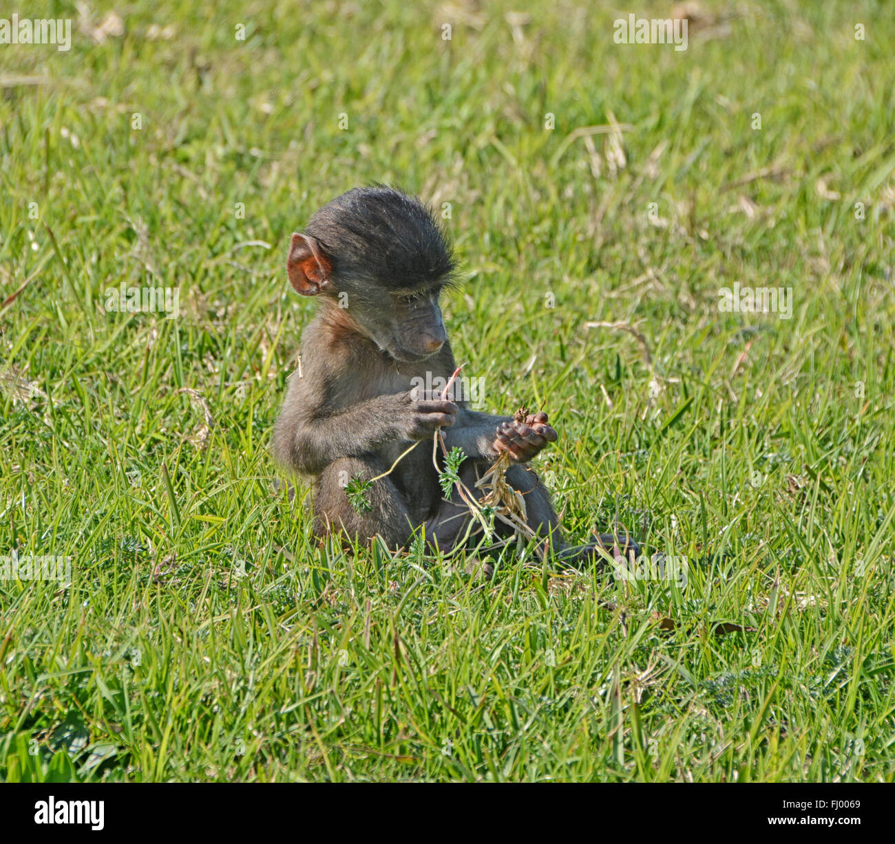 A baby Chacma Baboon surveys his grass roots, South Africa - Stock Image