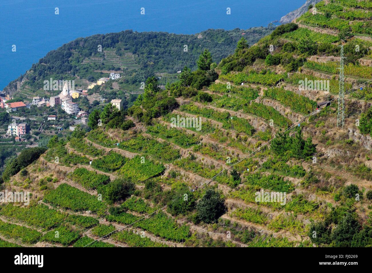 A vineyard of Schiacchetrà vine overlooks the coast on the cliffs of the Mediterranean along the Italian Riviera, - Stock Image