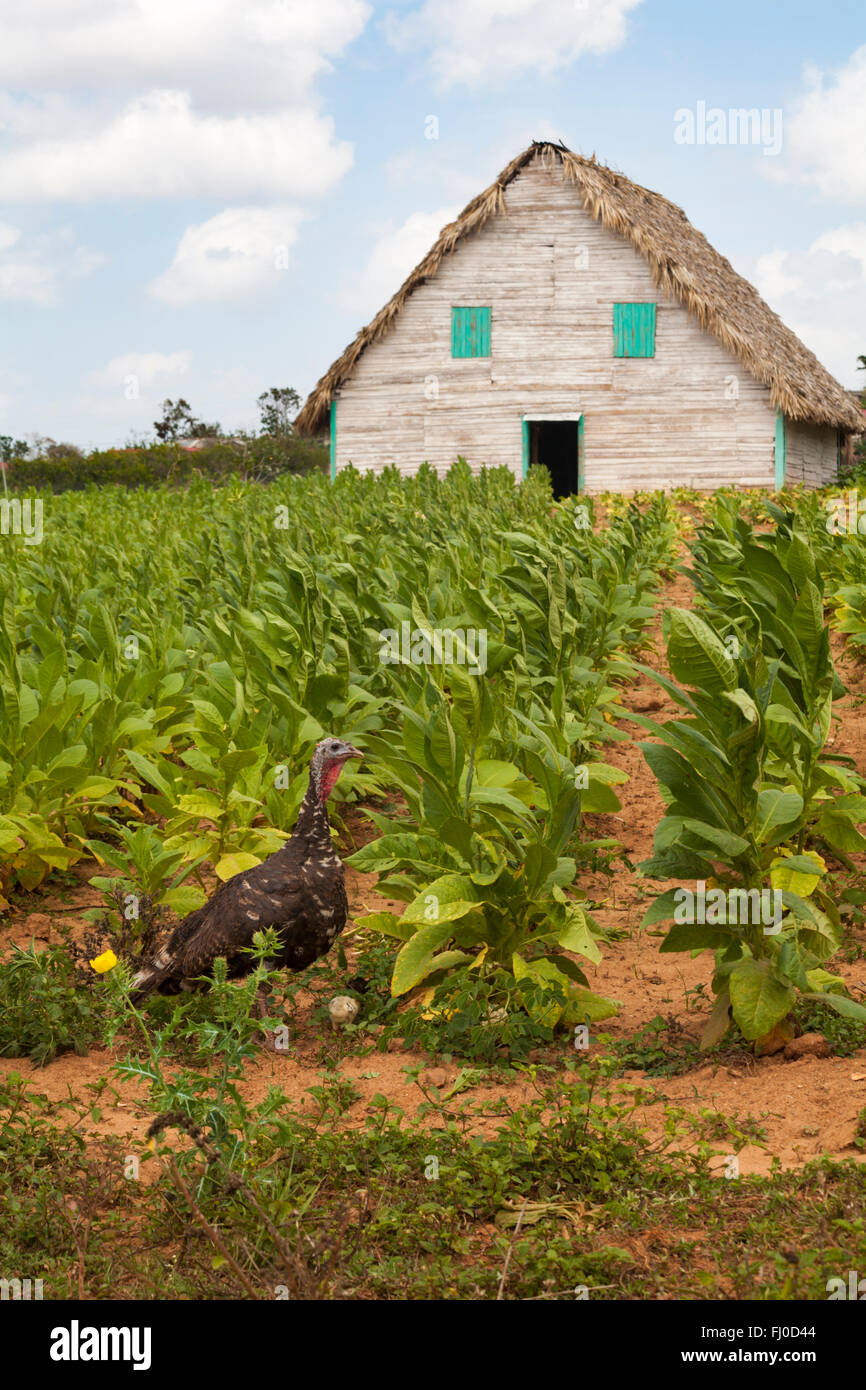 Turkey and chicks with tobacco drying hut and fields at Vinales, Pinar del Rio Province, Cuba, West Indies, Caribbean - Stock Image