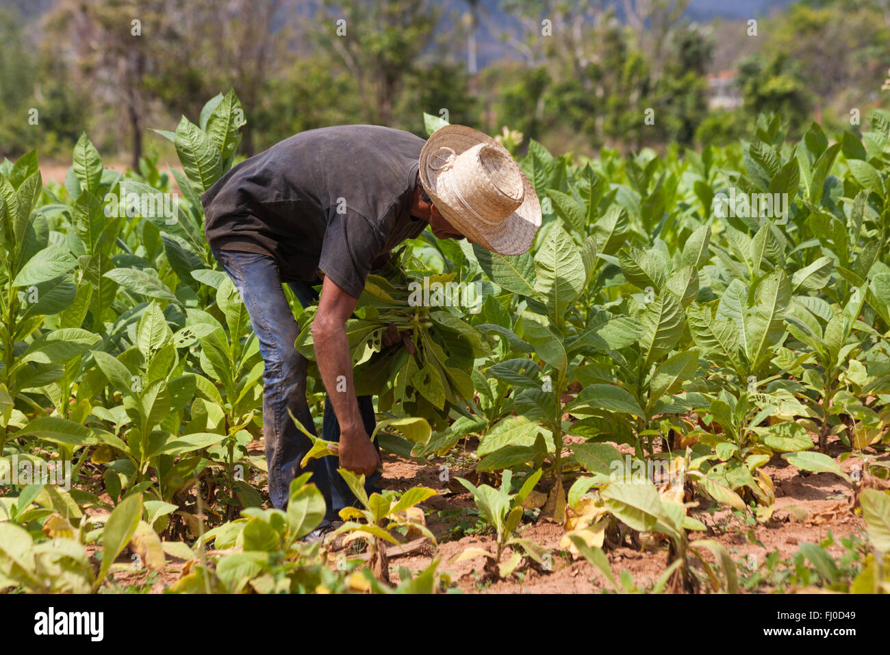 Daily life in Cuba - Hanging tobacco leaves out to dry at Vinales, Pinar del Rio Province, Cuba, West Indies - Stock Image