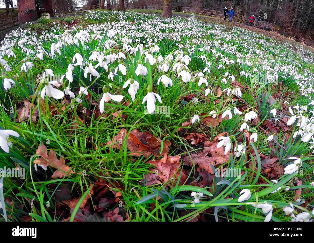 Wide angle photograph of Snowdrops ( the common woodland species called  Nivalis ) display in a beech wood , Welford Stock Photo