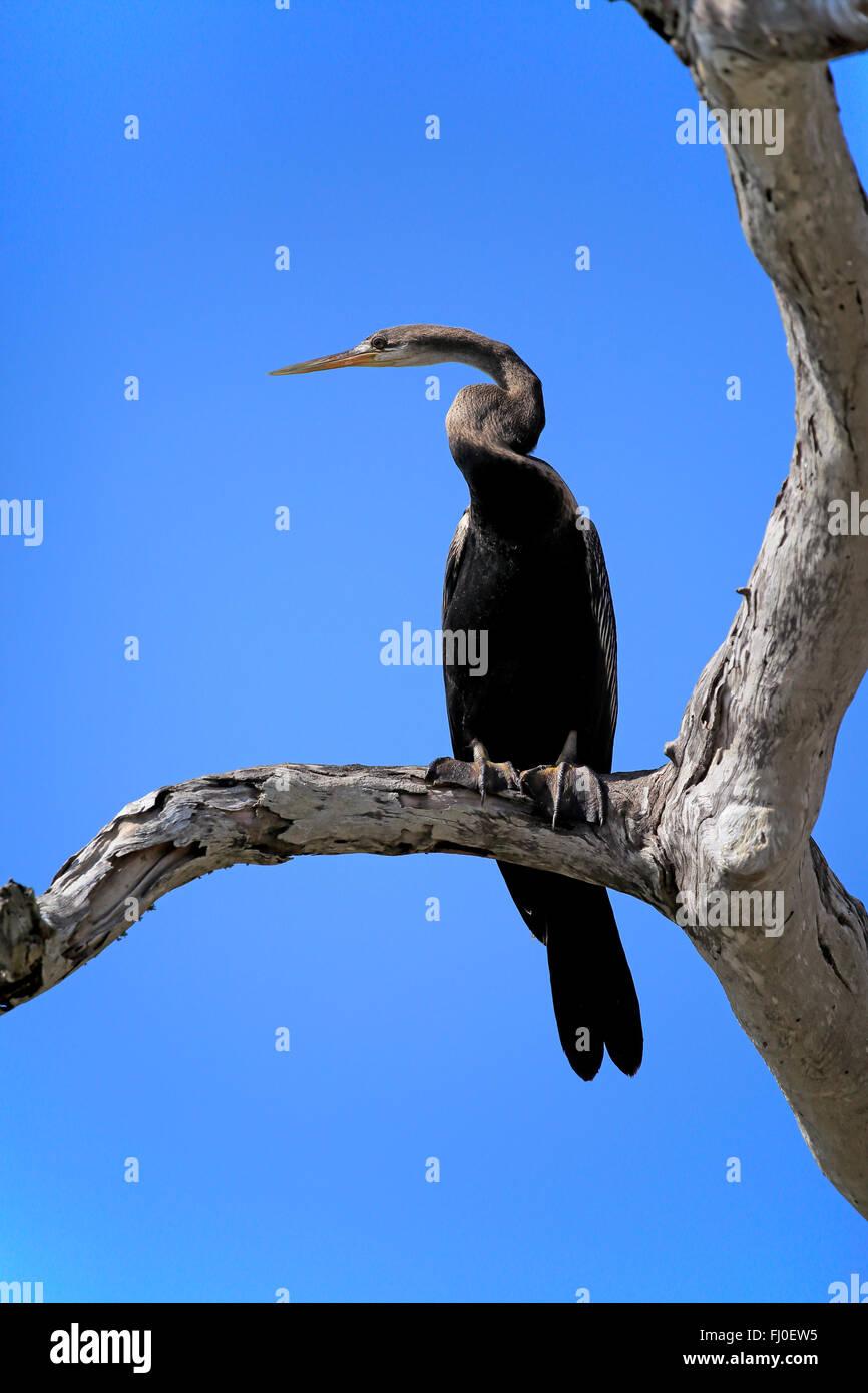 Oriental Darter, Eastern Darter, Indian Darter, Oriental Anhinga, adult on branch, Bundala Nationalpark, Sri Lanka, - Stock Image