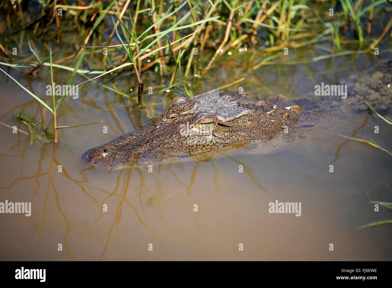 Saltwater Crocodile, Bundala Nationalpark, Sri Lanka, Asia / (Crocodylus porosus) - Stock Image