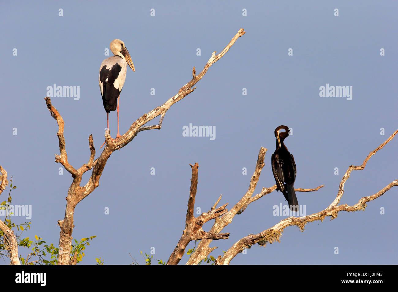 Asian Openbill Stork, Oriental Darter, (Anhinga melanogaster) adult on tree, Bundala Nationalpark, Sri Lanka, Asia - Stock Image
